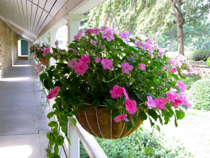 Impatients hanging baskets