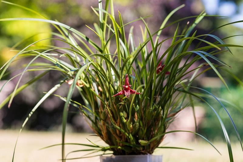 maxillaria tenuifolia potting