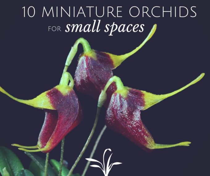 10 Miniature Orchids for small spaces