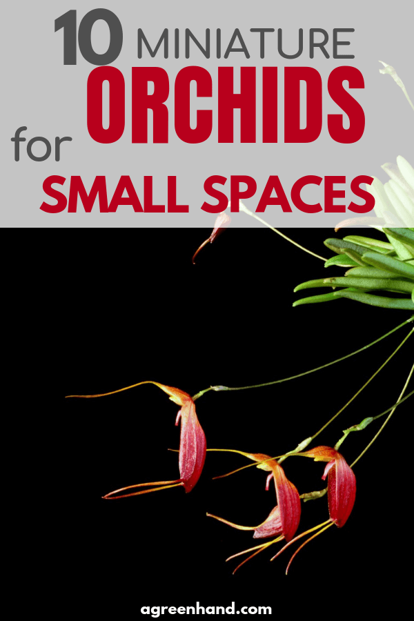 Top 10 miniature orchids for small spaces
