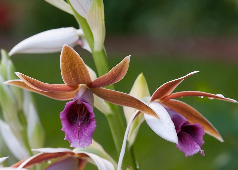 nun's orchids