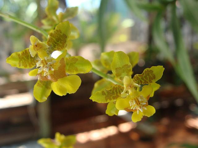a oncidium altissimum flower