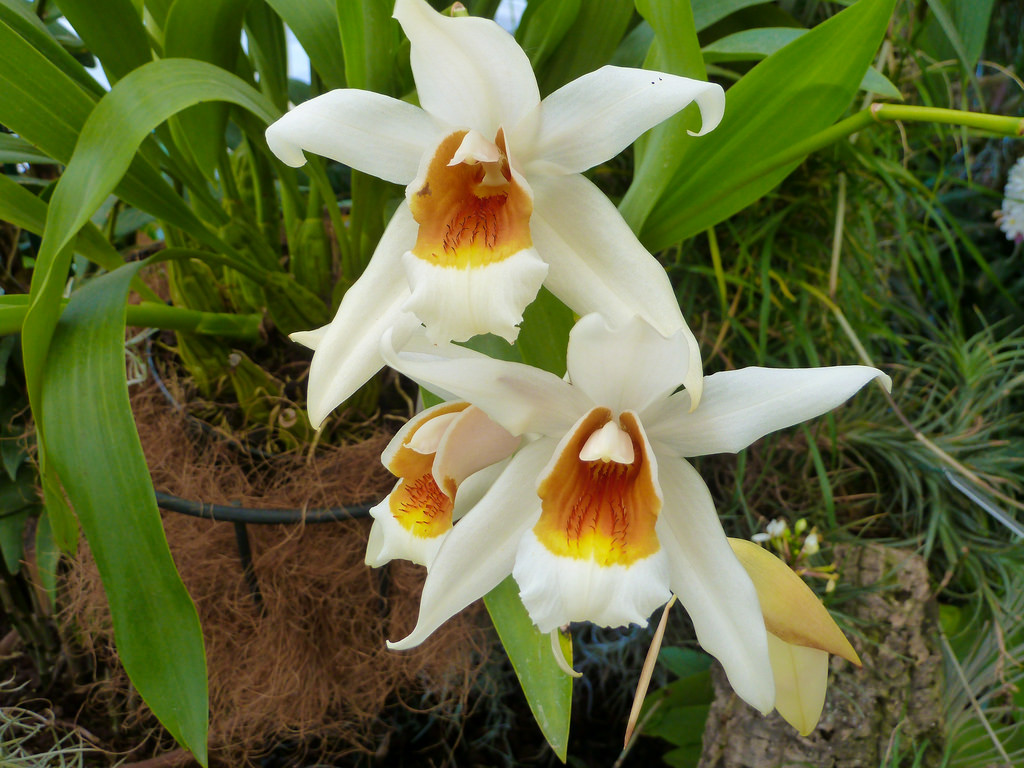 orchids blooming