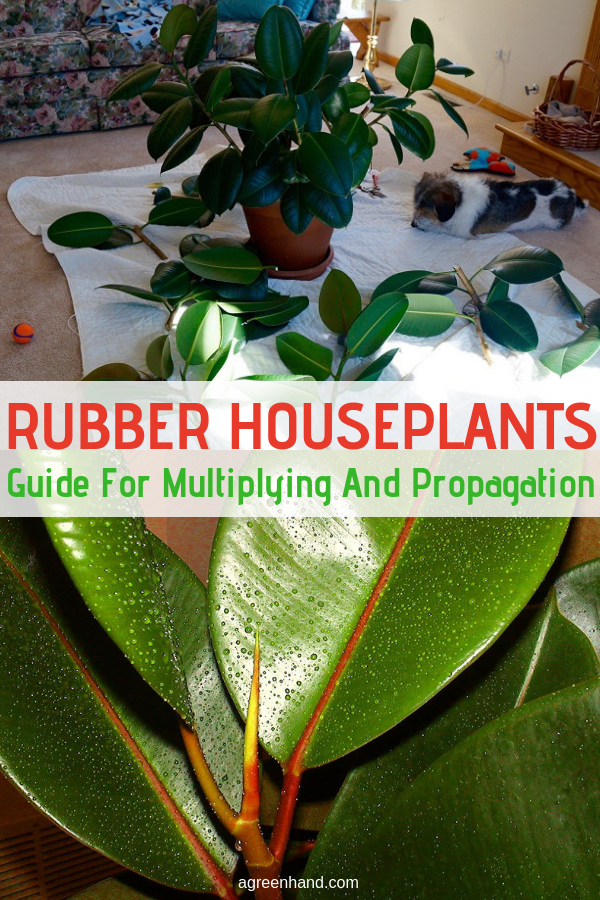Rubber houseplants are easy to multiply and propagate with plant leaves used as cuttings. Learn how to have lots of these potted plants. #rubberhouseplants #propagationrubberplants #agreenhand