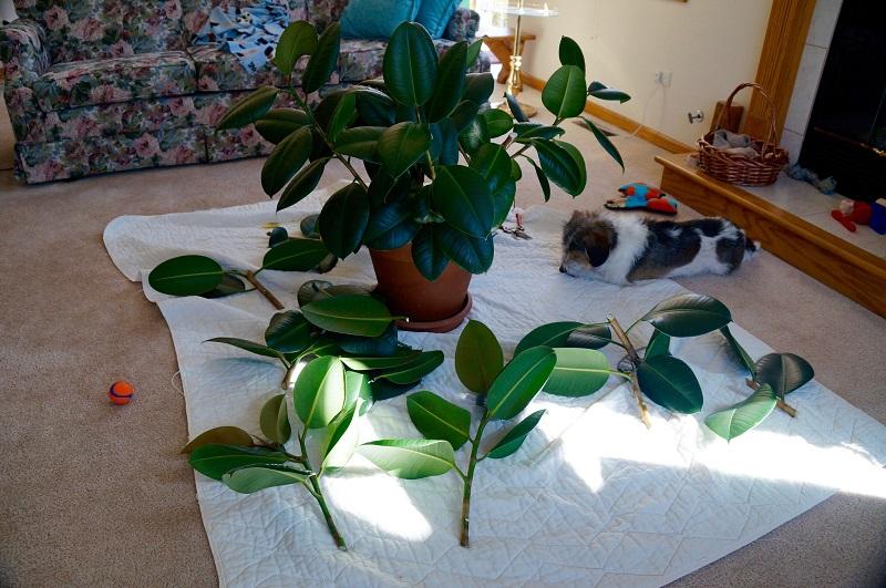 rubber plant propagation