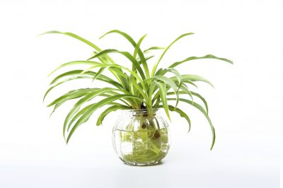 Growing spider plants in water
