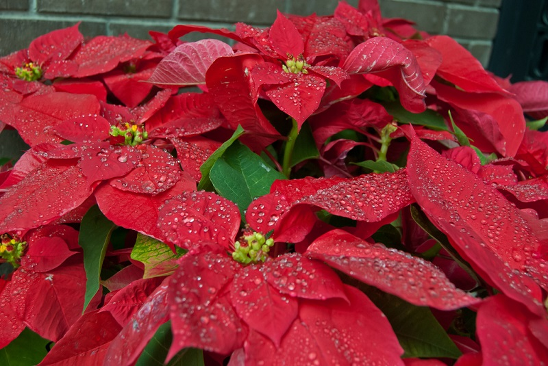 watering Poinsettia