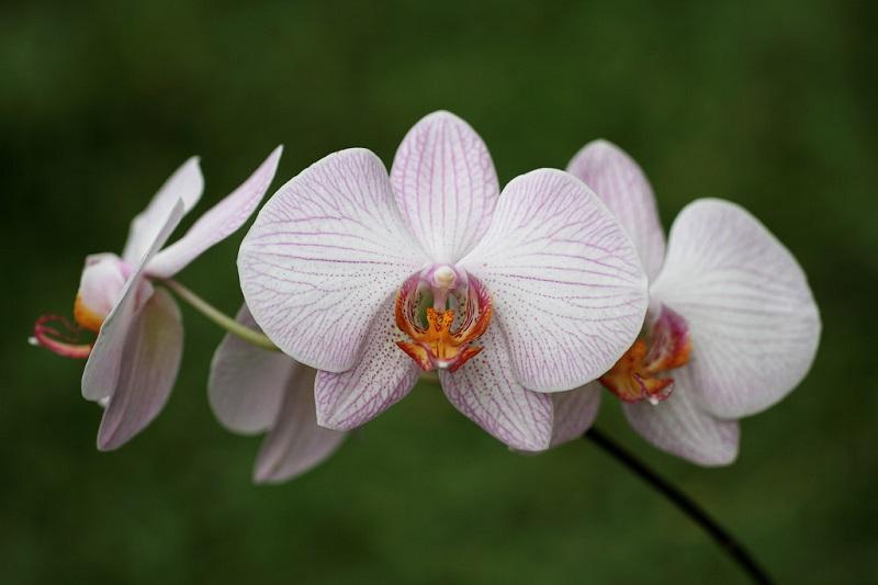 white Phalaenopsis orchids