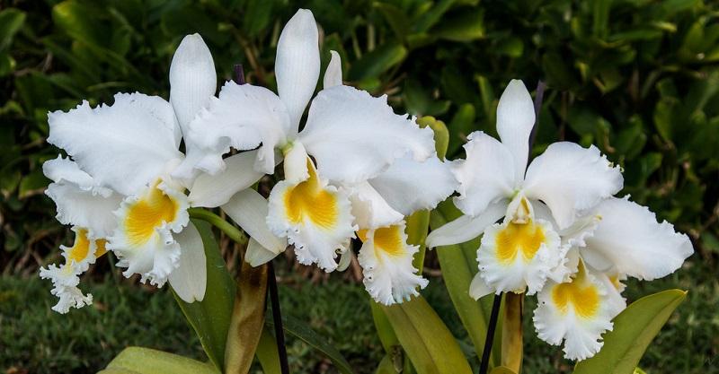 white cattleya orchids