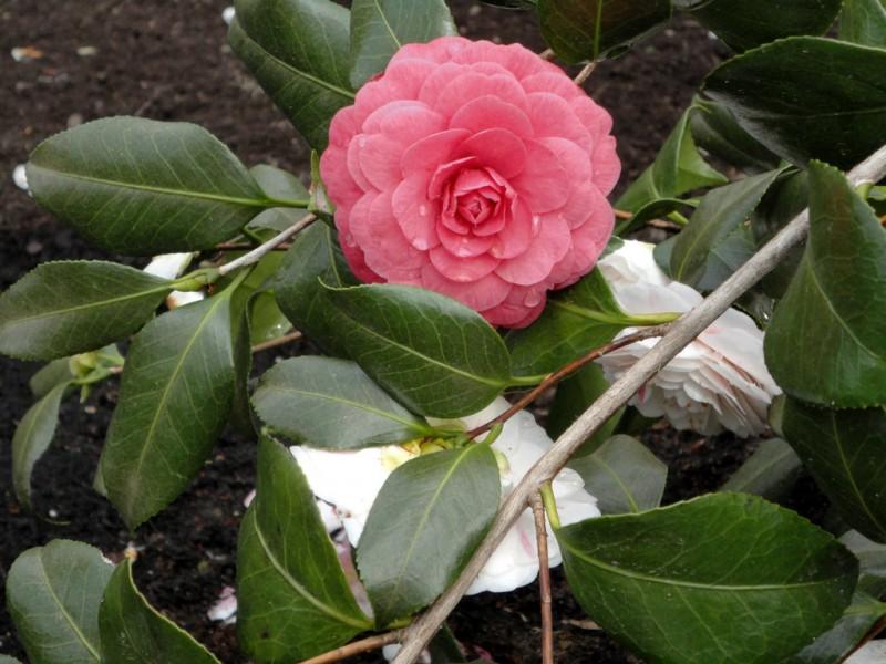 Camellia japonica April Dawn