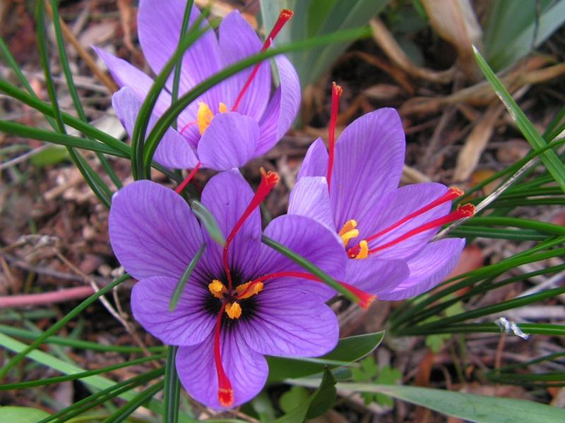 Crocus Sativus saffron