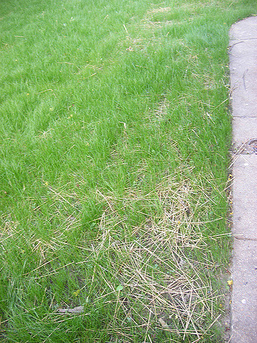 dead patches on lawn