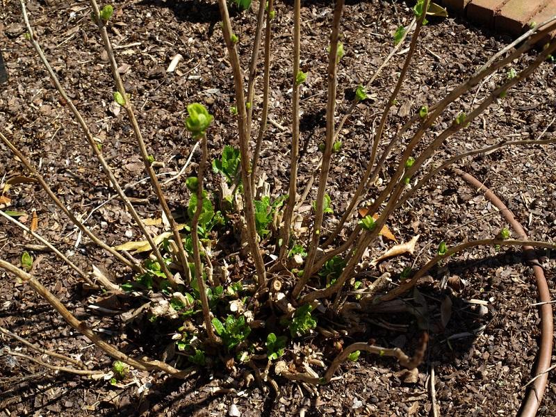 Hydrangea macrophylla pruning
