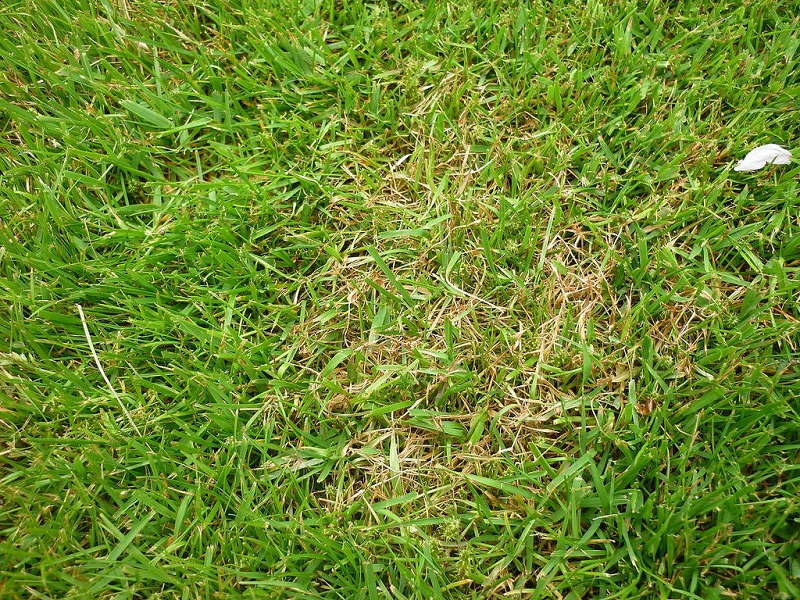 Red Thread Disease on Lawns