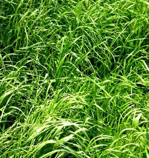annual rye grass