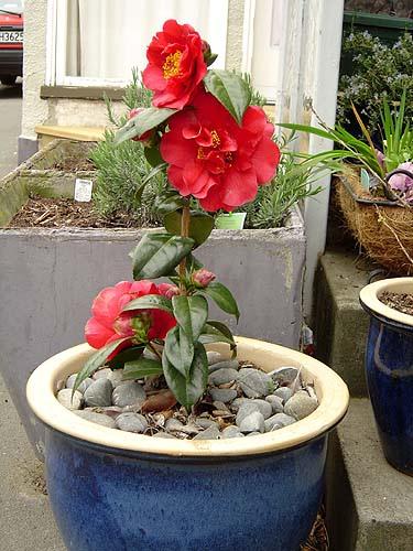camellia pot