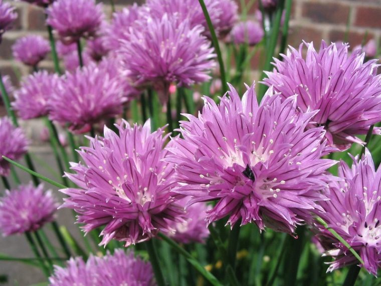 chives in fall garden