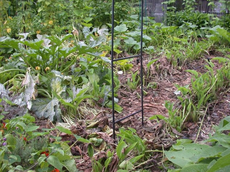 growing comfrey