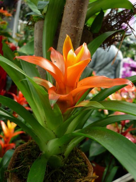 bromeliad flower orange