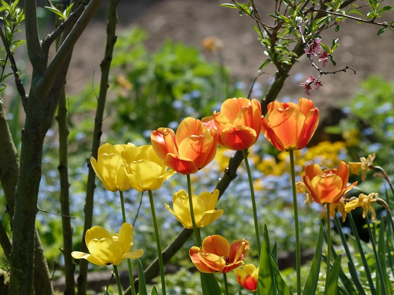 kaufmanniana tulips