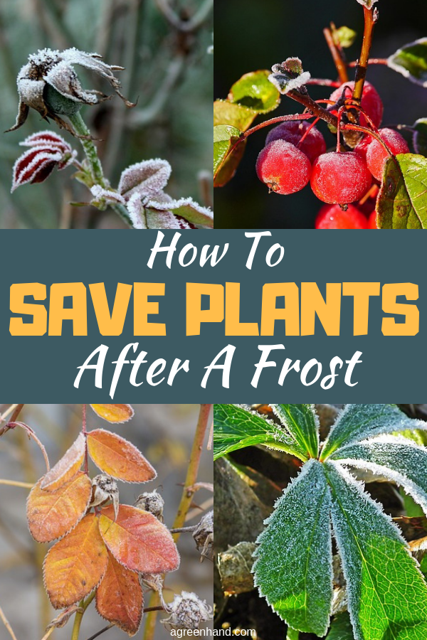 Are you faced with a garden full of plants that have been frost-damaged? My first instinct then was to prune and remove the dead plants. Some plants will recover on their own after some time. However, you can help them to fast tract the recovery of frost damaged parts. Here are ways on how to save plants after a frost. #saveplants #frost #protectplants #pruning #growindoor #agreenhand