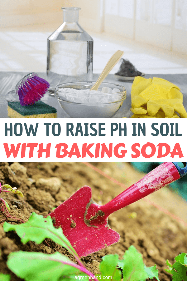 Your soil pH will determine what plants you can grow in your garden and how healthy they will grow. However, you should not let low pH or acidity restrict you since with a little effort and some baking soda you can raise it to the level that you desire. With the four easy steps you can increase and manage the pH easily with little effort and money. #phsoil #raisephsoil #bakingsoda #agreenhand