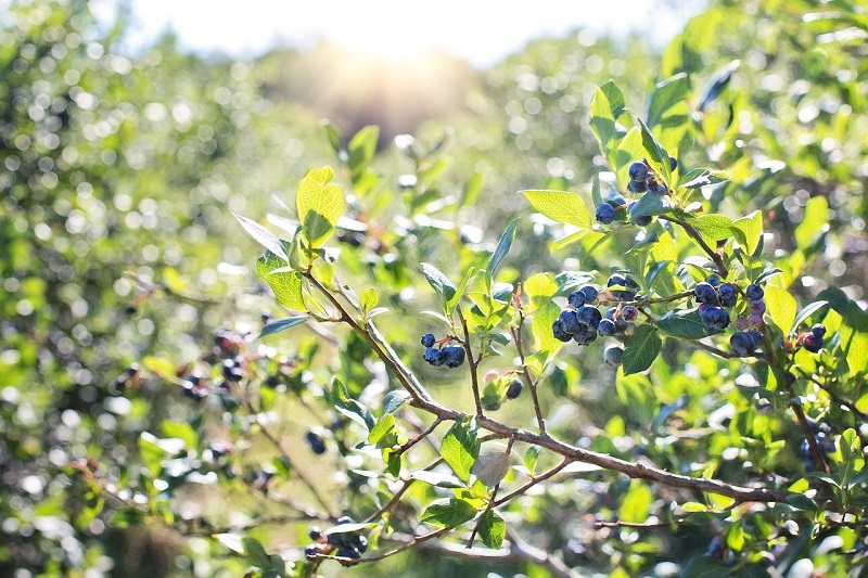 Blueberries bush