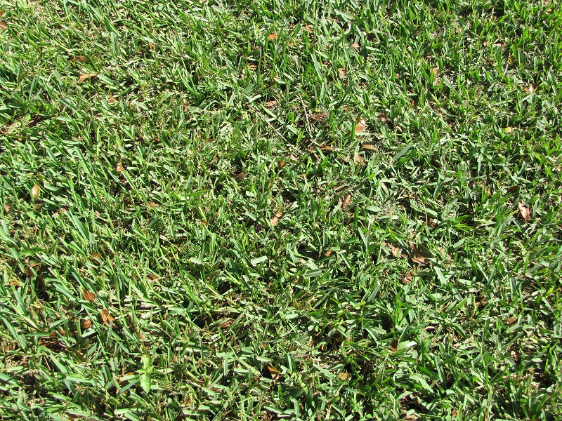 Why Your St  Augustine Grass Turning Yellow - AGreenHand