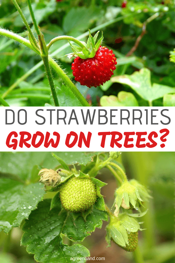 Strawberries are easy to recognize, but there are many misconceptions about how they exactly grow. Do strawberries grow on trees, bushes, or vines? This guide attempts to clarify the identity of the strawberry plant to help gardeners know what to expect. #strawberries #agreenhand #gardening