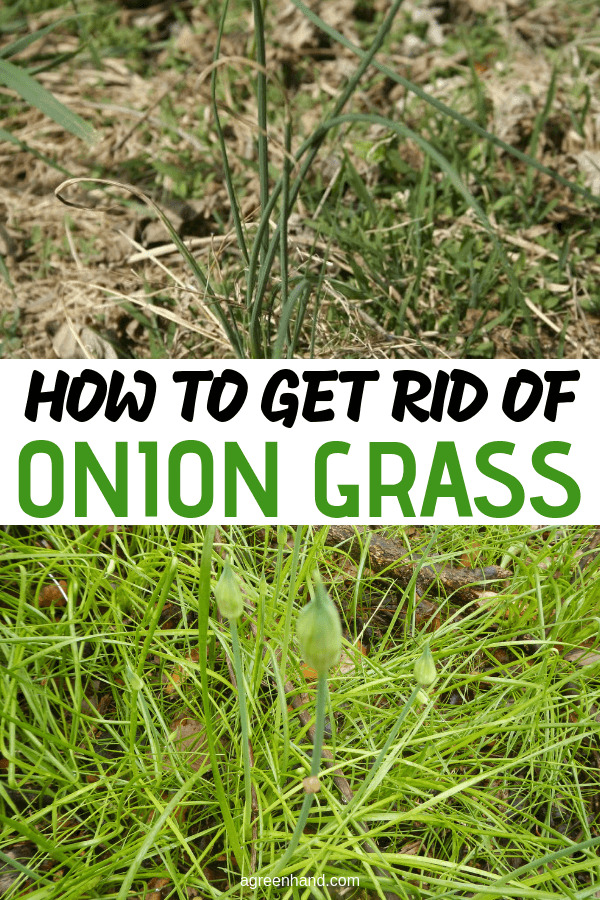 I'm gonna show you how to get rid of wild onions, wild garlic or whatever you usually call it (onion grass) - without damaging your lawn much and without using chemicals. #oniongrass #lawncare #getridofoniongrass #agreenhand