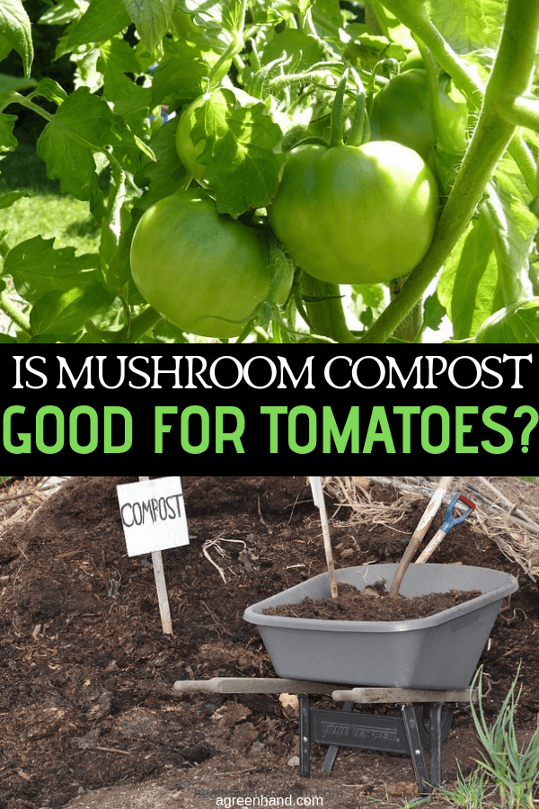 Tomato growers often look for the best ways to improve plant growth — so is mushroom compost good for tomatoes? It's known that compost generally improves soil health, but there's a good reason why this particular form is ideal. #tomatoes #compost #mushroomcompost #agreenhand #gardening