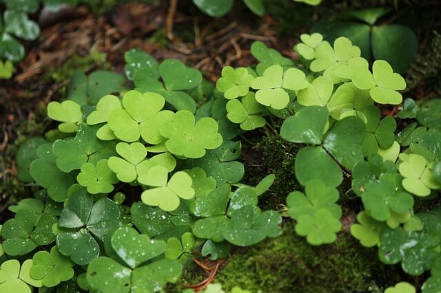How To Get Rid Of Oxalis