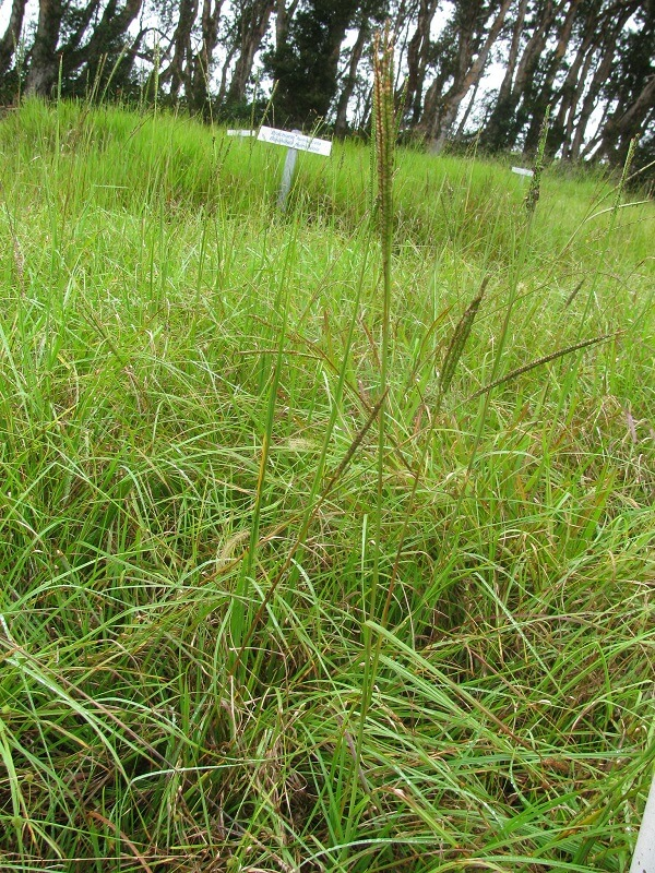 how to get rid of bahia grass