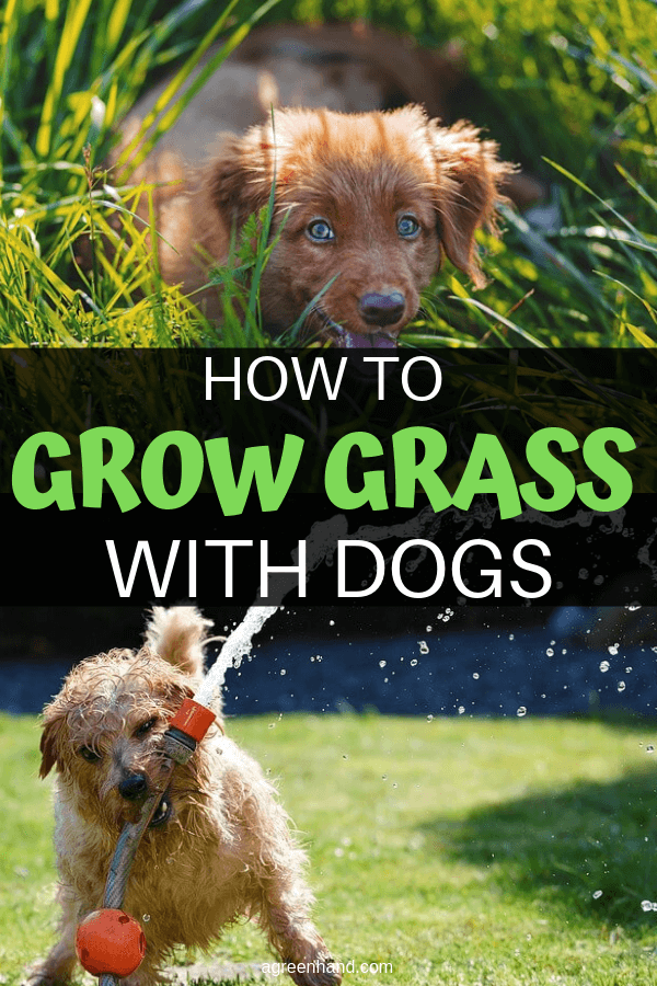 grow grass with dogs