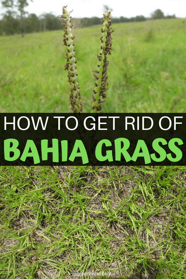 How To Get Rid Of Bahia Grass #bahiagrass #getridof #agreenhand