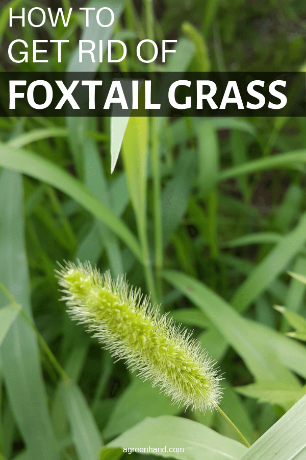 how to get rid of foxtail grass