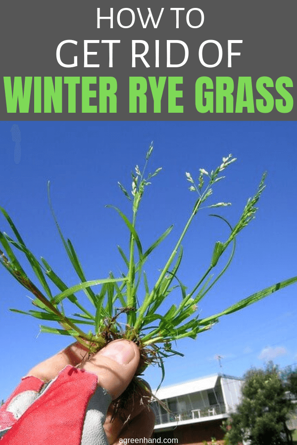 How To Get Rid Of Winter Rye Grass Agreenhand