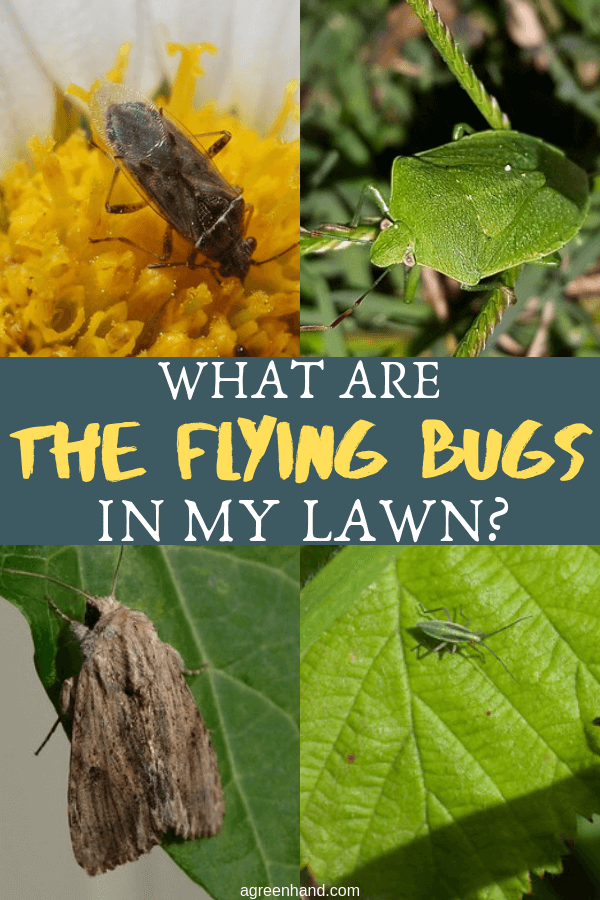 What Are The Flying Bugs In My Lawn