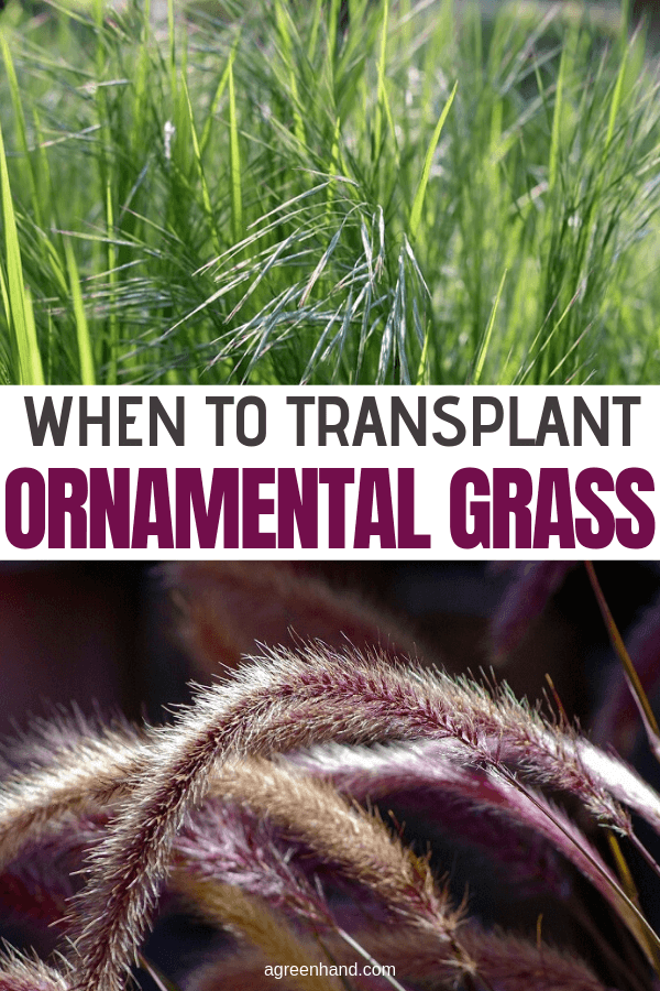 When To Transplant Ornamental Grass