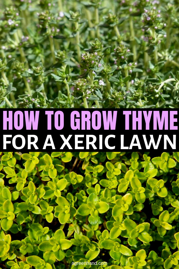 Thyme For A Xeric Lawn