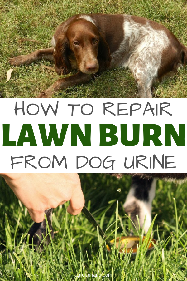 Often homeowners are baffled why they can't get rid of patchy light brown spots on their lawn. After trying to fix the problem with various fertilizers or lawn insecticides, they finally realize it's due to dog urine.