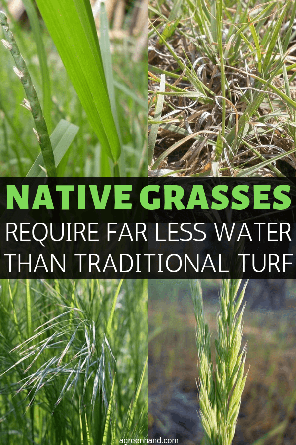 Despite dwindling water supplies, there may still be a way to grow enough verdant parkland to toss that Frisbee around or drum up a game of flag football: replace existing turf with native grasses! #agreenhand #nativegrass #turf #lawngrass #lawncare