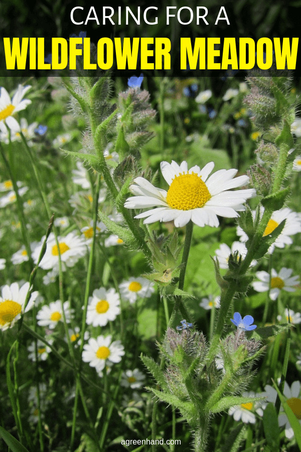 Caring for a Wildflower Meadow