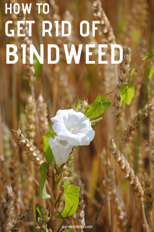 how to get rid of bindweed
