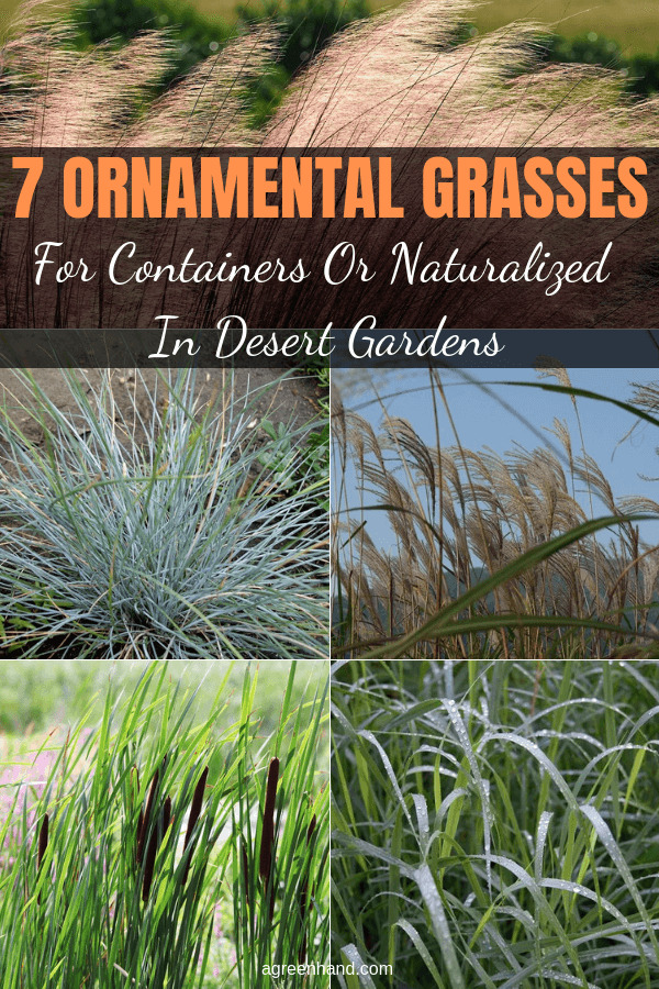 Top Ornamental Grasses For Containers Or Naturalized In Desert Gardens
