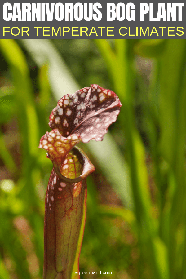 Carnivorous Bog Plant For Temperate Climates