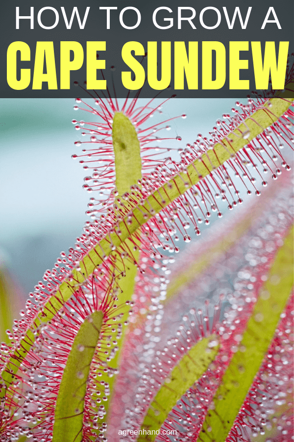how to grow a cape sundew