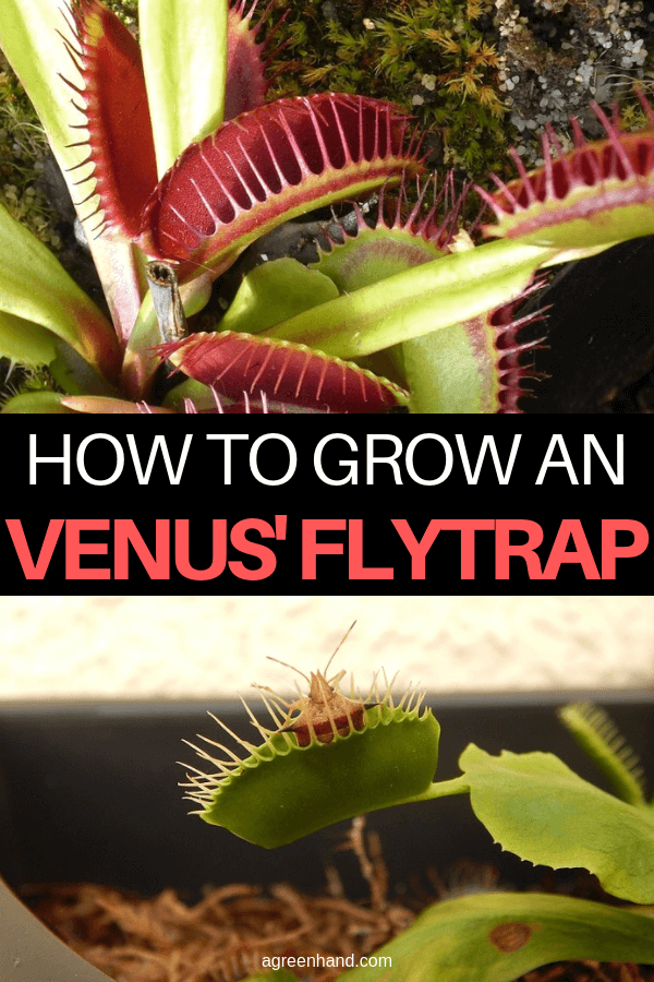 How to Grow a Venus' Flytrap