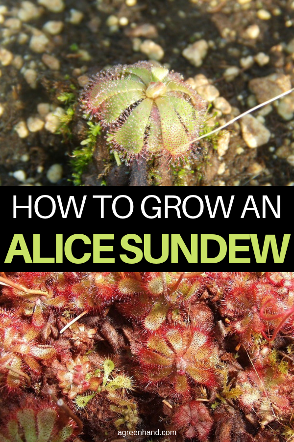 How to Grow an Alice Sundew