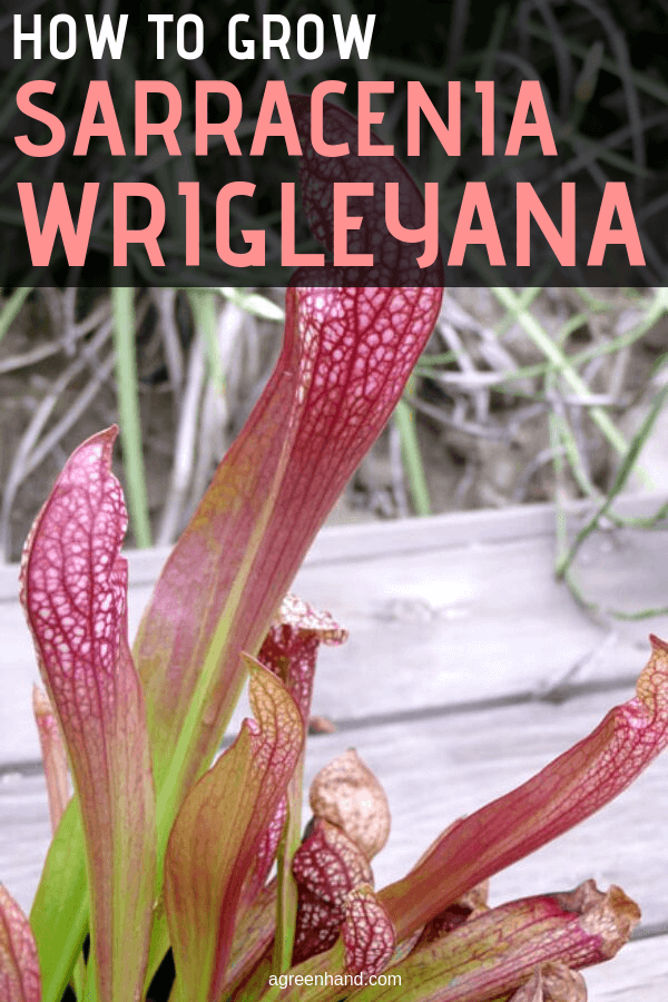 How to Grow Sarracenia Wrigleyana